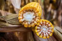 Як пристосувати успішне вирощування кукурудзи до змін клімату
