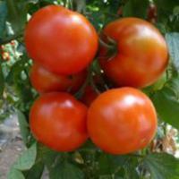 Семена томата Эйджен F1 250 шт