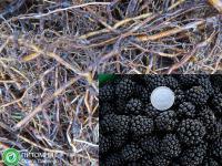 Маточный корень ежевики Арапахо