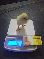 Суточные цыплята бройлеров Кобб-500