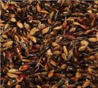 Семена суданской травы Билявка элита 1 репродукция
