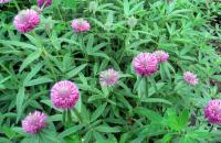 Семена клевера красного Мироновский 45