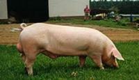 Кнуры (хряки) и свинки (ремки)