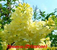 Сирень Primrose (Примроуз)