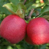 Саженцы яблони, более 65 сортов