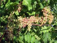 Черенки винограду