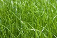 Мятлик луговой для газона