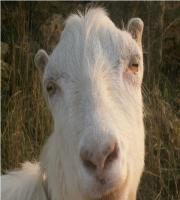 Племенные козы Испанская ламанча