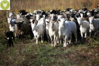 Овцы племенные романовской породы