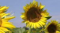 Семена подсолнечника ЛАКОМКА
