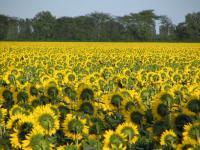 Семена гибрида подсолнечника Аламо Франция