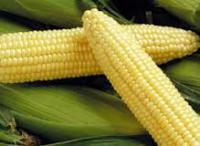 Семена сахарной кукурузы Спирит F1 1 кг