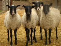 Овцы Романовской породы молодые и взрослые