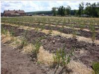 Технология выращивания Голубики, Черники в почве.