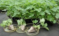 Безвирусные саженцы in vitro земляники садовой ( промышленные суперурожайные сорта)