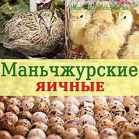 Инкубационное яйцо перепела Маньчжурские