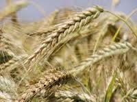 Семена пшеницы Мироновская Столетняя, Мироновский институт пшеницы