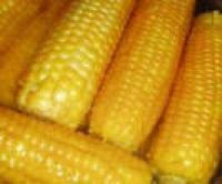 Семена кукурузы Компании Маис ДМС Супер