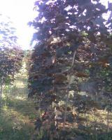 Клен остролистный краснолистный 'Crimson King' высота 1,8-2,5м
