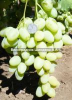 Консультації при купівлі саджанців винограду