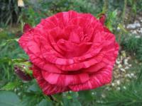Саженцы роз Red Intuition