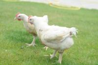 Цыплята подрощенные породы бройлер РОСС 308