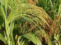 Семена сорго зернового от 100 кг