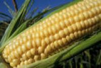 Семена кукурузы Розивский 311 СВ
