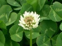 Клевер ползучий белый 0.5 кг газонный низкорослый
