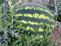 Семена арбуза Таврийский