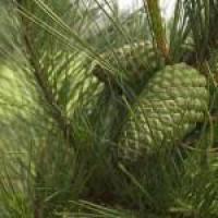 Сосновая шишка зеленая