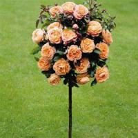 Розы штамбовые саженцы