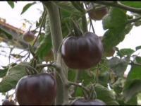 Семена помидоров Черный Принц