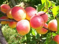 Саженцы абрикоса Самбурский ранний