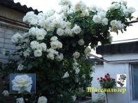 Саженцы роз плетистых