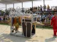 Станок для обработки копыт коров М1