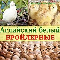 Инкубационное яйцо перепела Английский белый