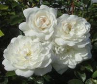 Саженцы розы Сноу балет
