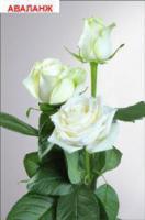 Саженцы роз Аваланж