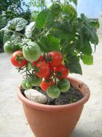 Семена томатів кімнатних, 5 сортів