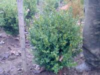 Самшит вечнозелёный высотой 30 см