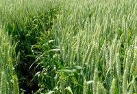 Семена пшеницы озимой