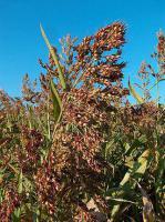 Семена Суданского сорго