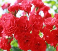 Саженцы розы Скарлет Меиллансер