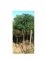 Акація куляста Umbraculifera, висота щеплення 1,6-1,8 м