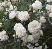 Саженцы розы почвопокровной Аспирин