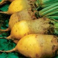 Семена свеклы кормовой Урсус оптом