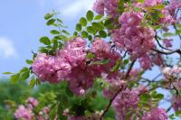 Саженцы акации розовой