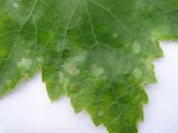 Болезни винограда и меры борьбы