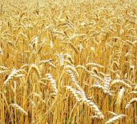 Семена пшеницы озимой Золотоколоса суперэлита